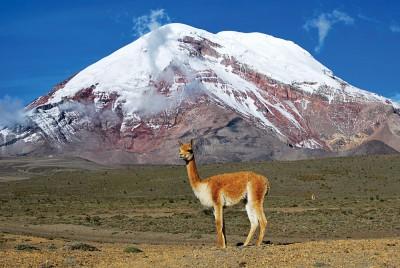 Vicuna in Peru
