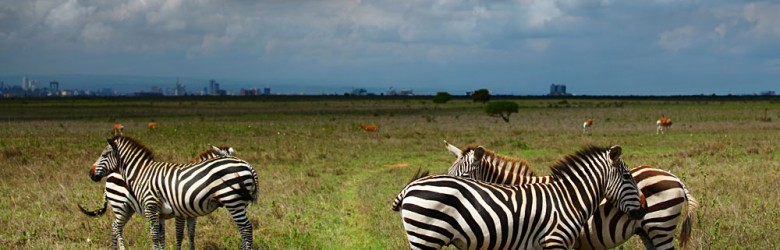 Zebras in Savanna of Nairobi National Park, Kenya