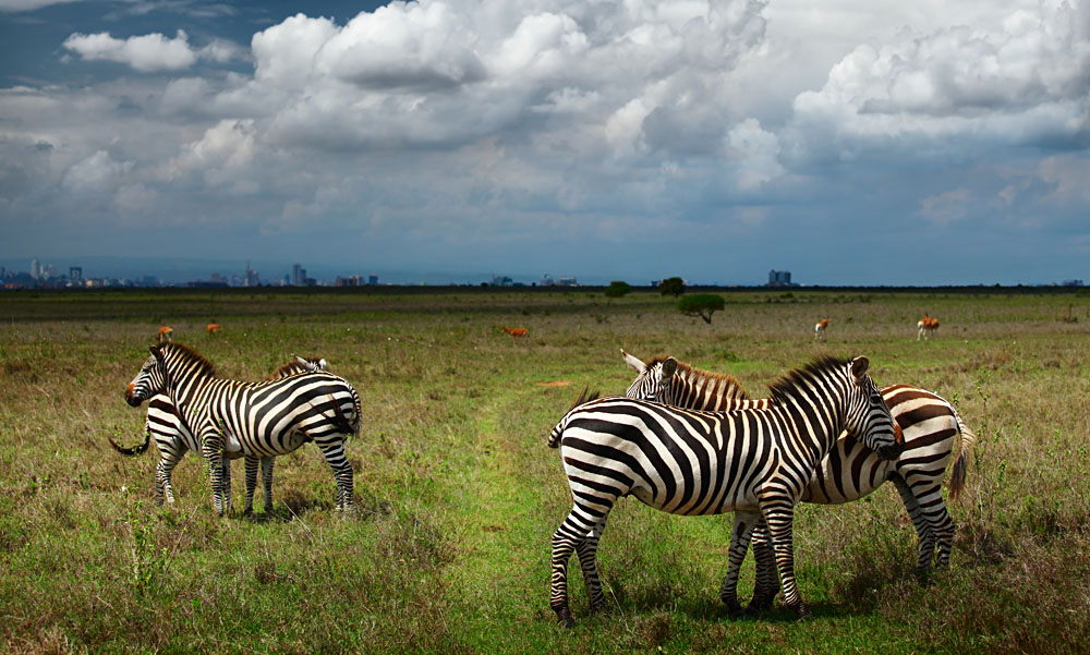 Zebras in Savanna of Nairobi National Park, Kenya