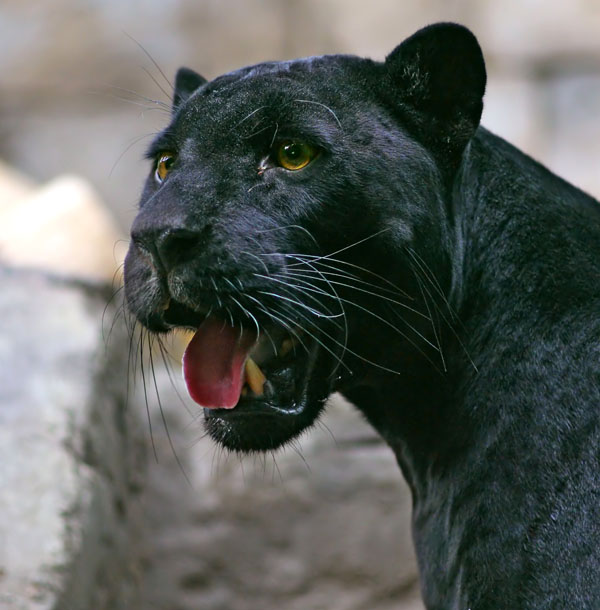 Black Panther, Africa