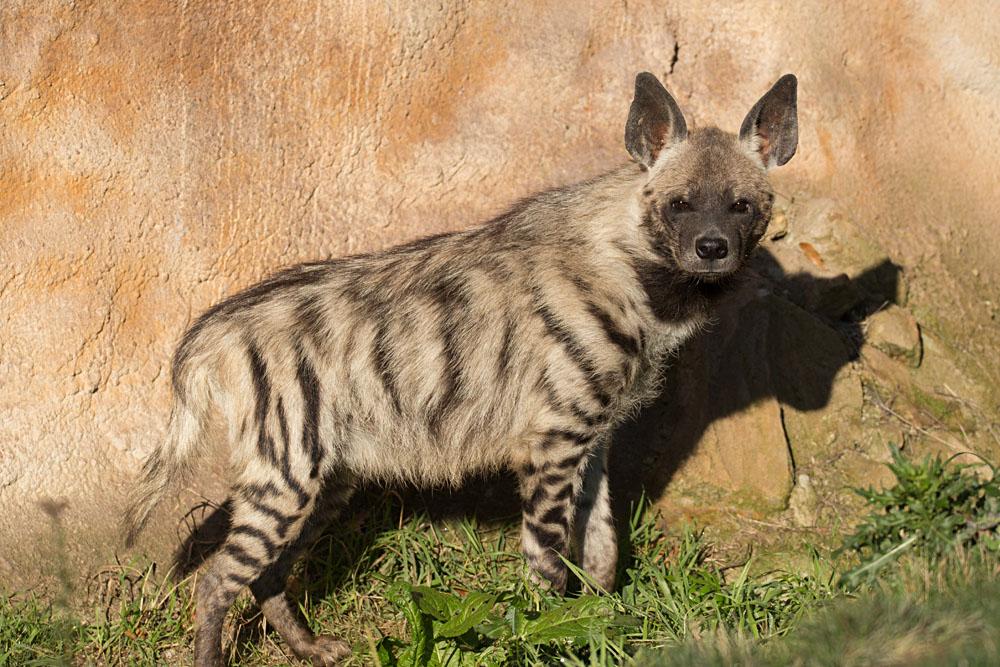 Black-Striped Hyena