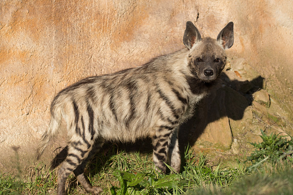 Black-Striped Hyena