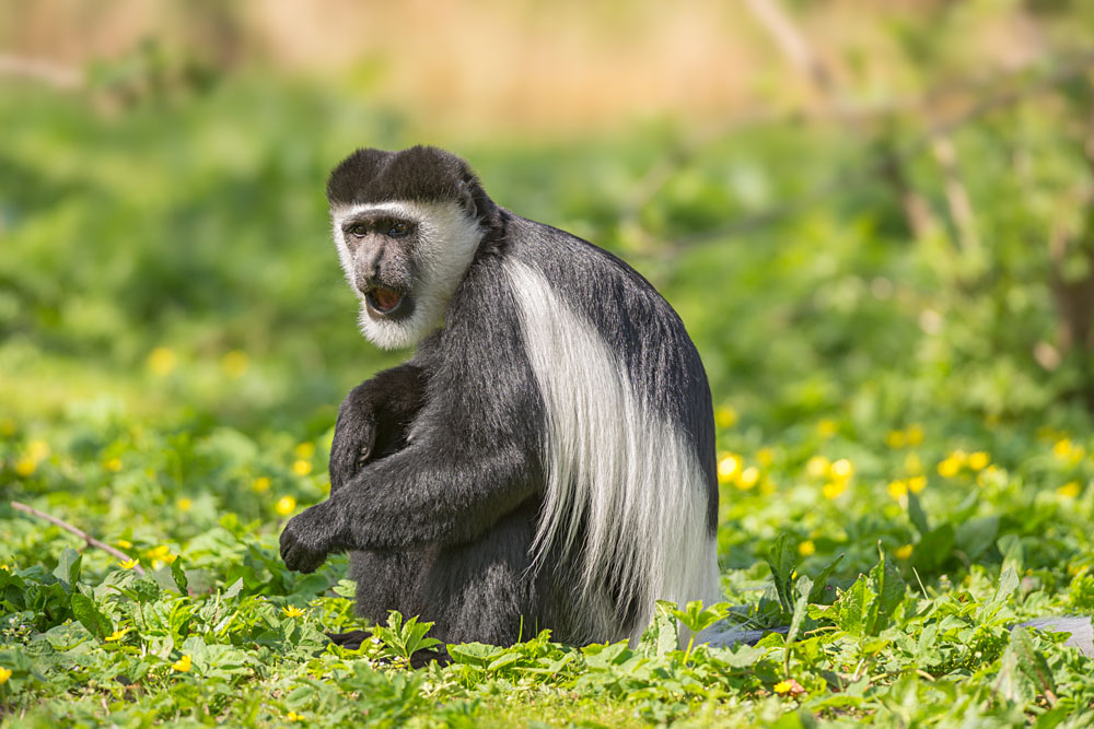 Black and-White Colobus Monkey, East Africa