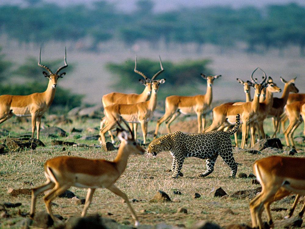 Leopard Preying on Impalas, Kenya