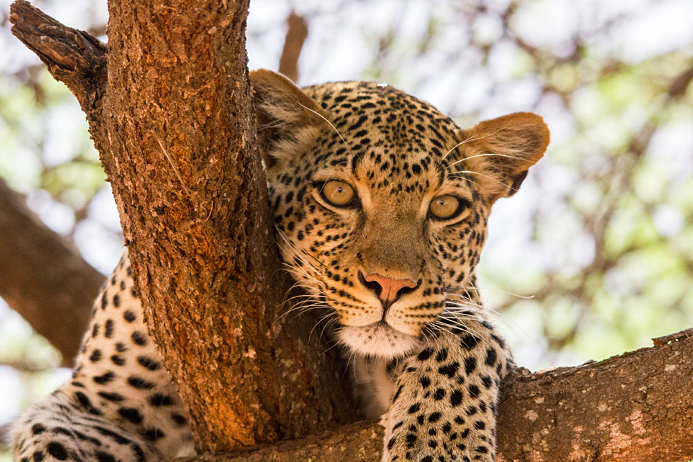 Leopard in a Tree, East Africa