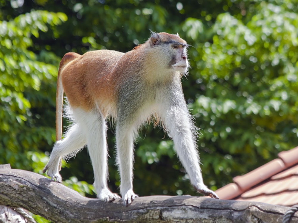 Male Patas Monkey, Africa
