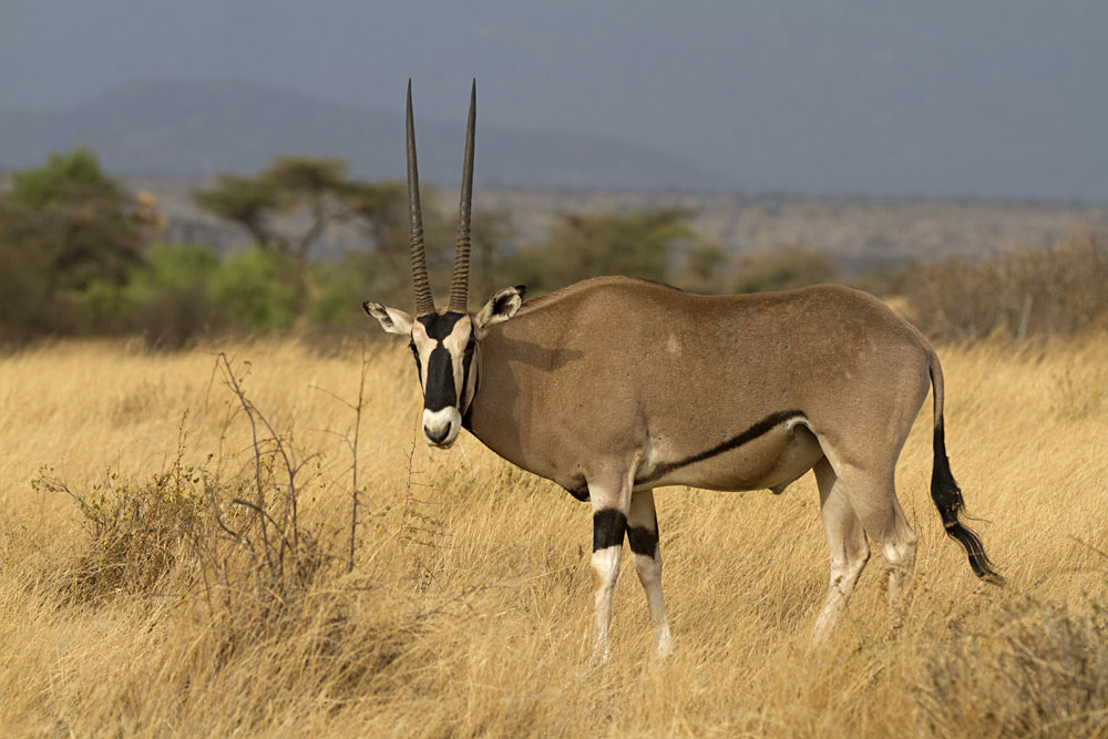 Oryx Standing on Yellow Grass, Kenya