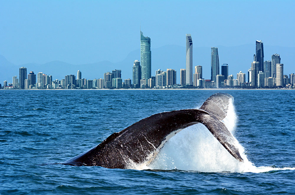 Tail of a Humpback Whale Rises Above the Water Against Surfers Paradise Skyline in Gold Coast, Queensland, Australia