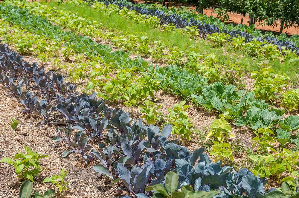 Vegetable Garden in the Babylonstoren Farm Near Paarl, South Africa