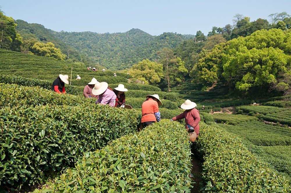 Workers Picking Tea in West Lake Longjing Tea Plantation, Hangzhou, China