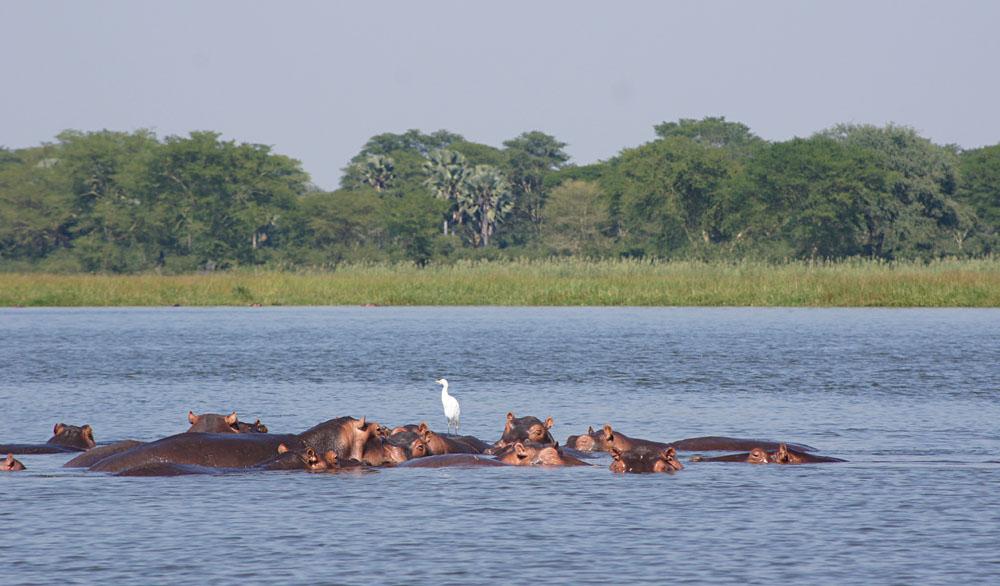 Akke Bos - Hippos in Liwonde National Park, Malawi