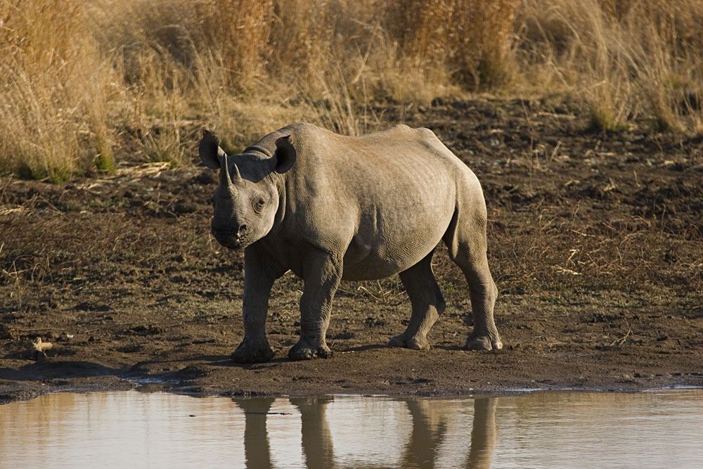 Black Rhino is Pilanesberg Game Reserve, South Africa