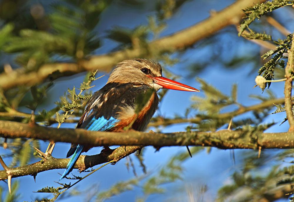 Grey-headed Kingfisher in Samburu Game Reserve, Kenya