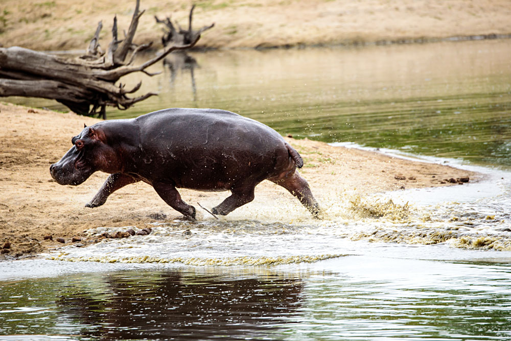 Hippo Charging Out of a Waterhole, Sabi Sands, Kruger National Park, South Africa