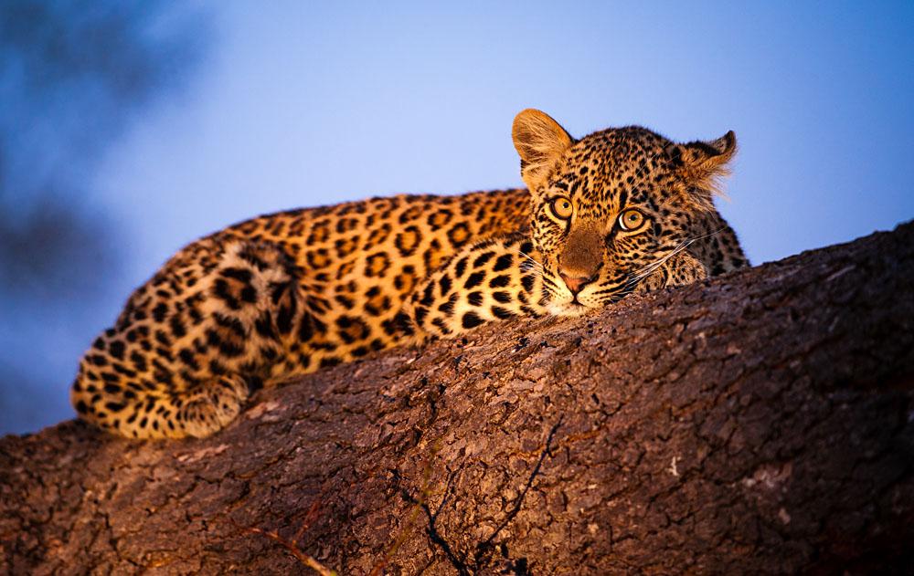 Leopard Cub Resting in Sabi Sands Nature Reserve, Kruger National Park, South Africa