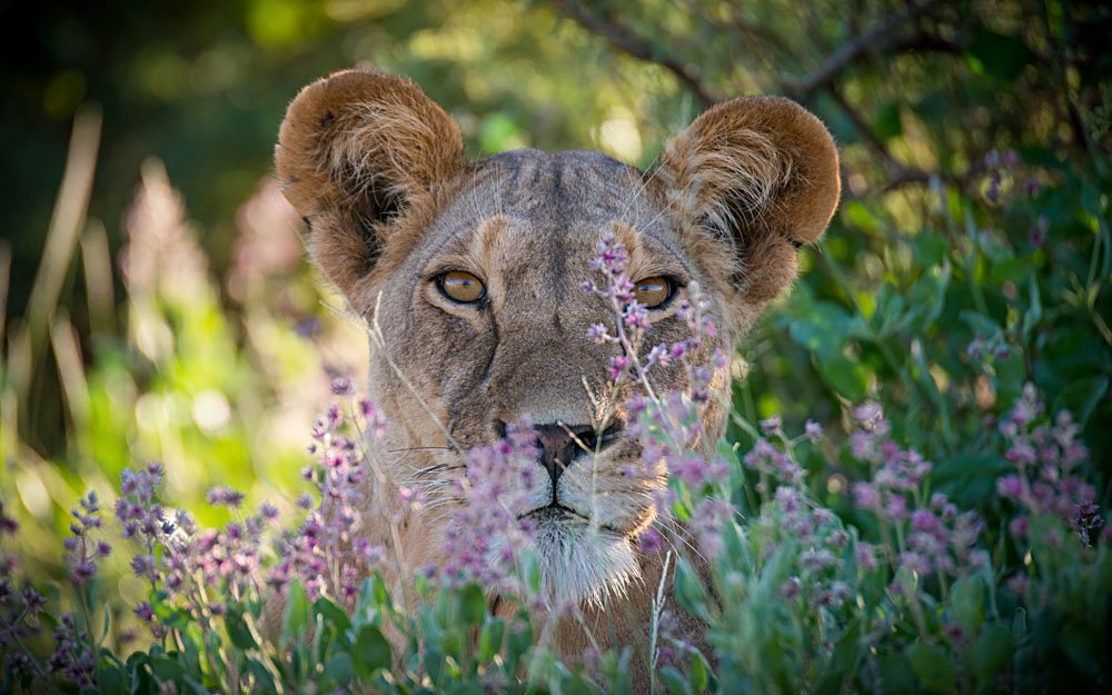 Lioness Close Up in Samburu Game Park, Kenya