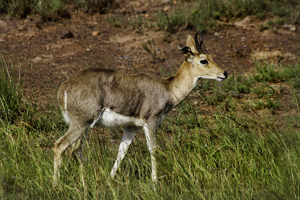 Male Mountain Reedbuck in Ithala Game Reserve, Zululand, KwaZulu-Natal, South Africa