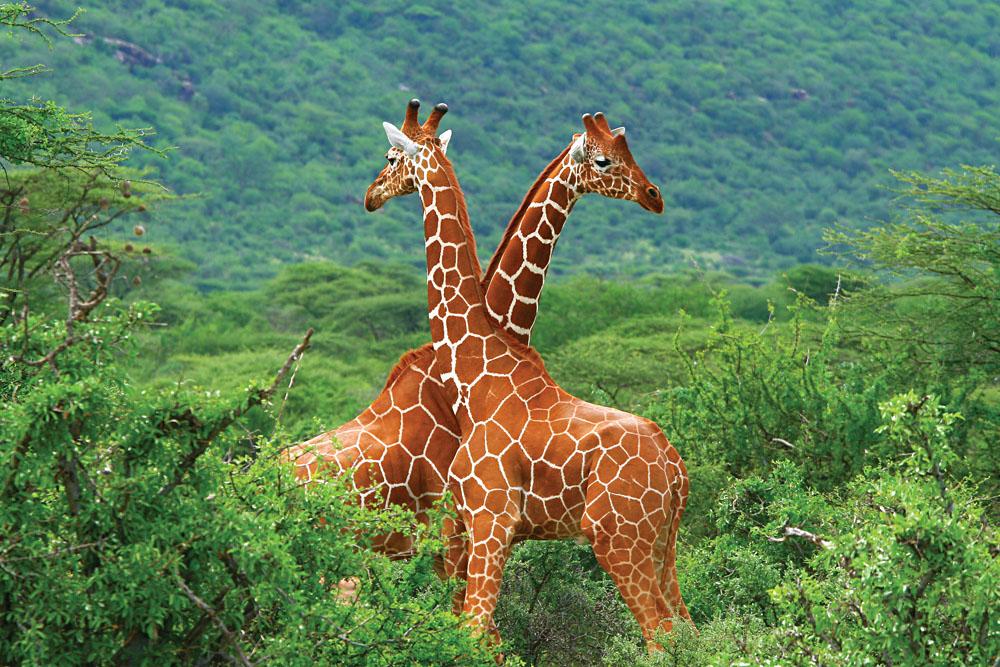 Two Giraffes in Samburu National Park, Kenya