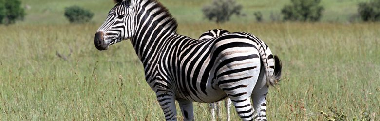 Zebra in Savannah, Sabi Sands, Kruger National Park, South Africa