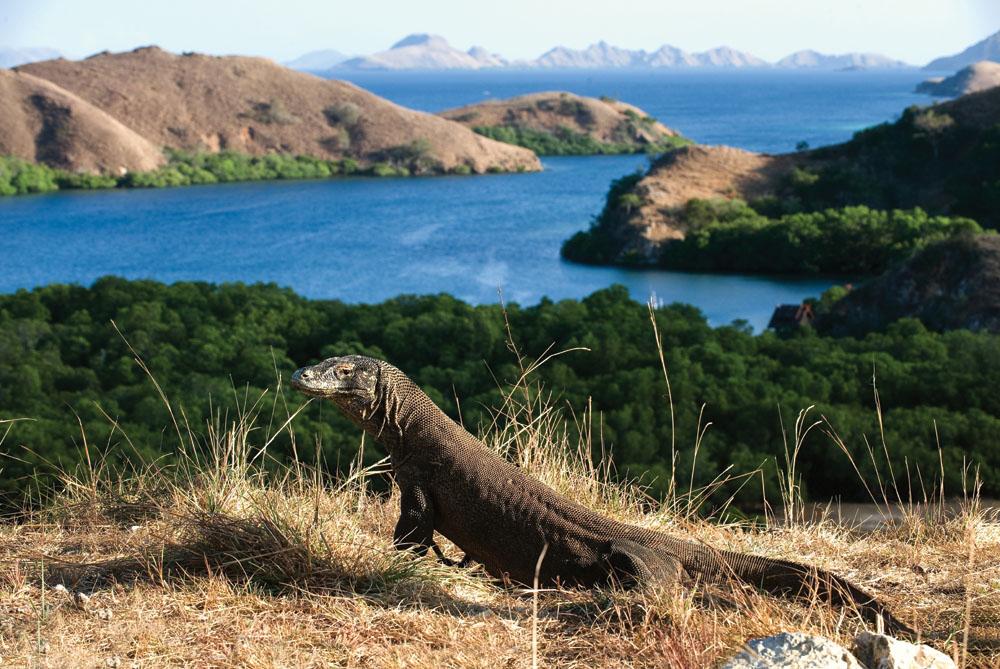Komodo Dragon on Rinca Island, Indonesia