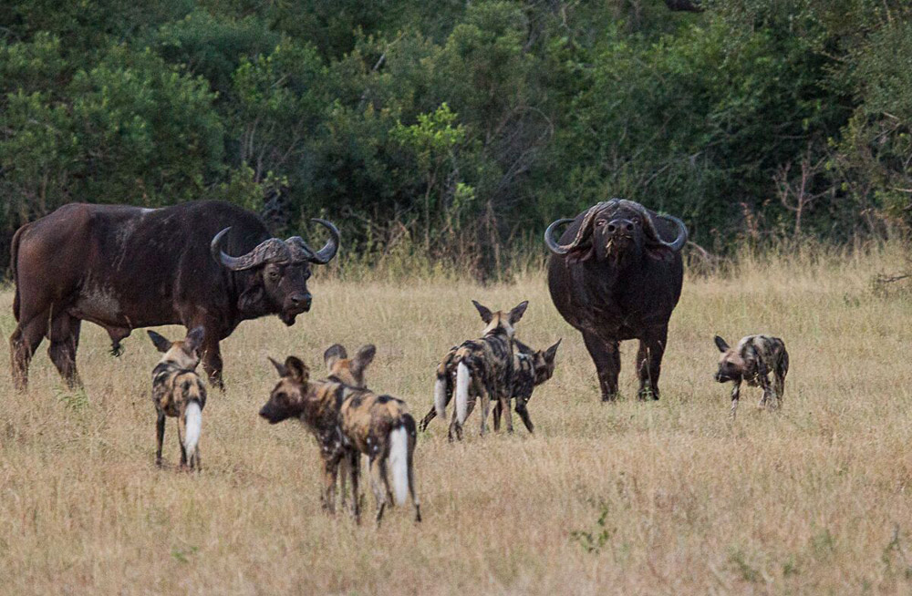 Sabi Sabi Private Game Reserve - Buffalo and Wild Dog