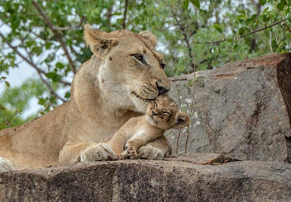 Sabi Sabi Private Game Reserve - Lion and Cub