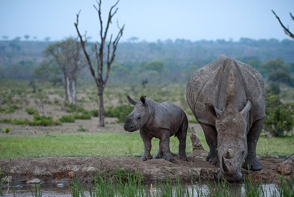 Sabi Sabi Private Game Reserve - Rhino and Baby