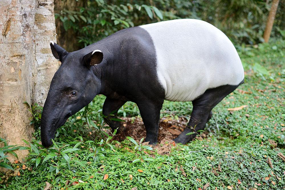 Asian Tapir in Taman Nagara, Malaysia
