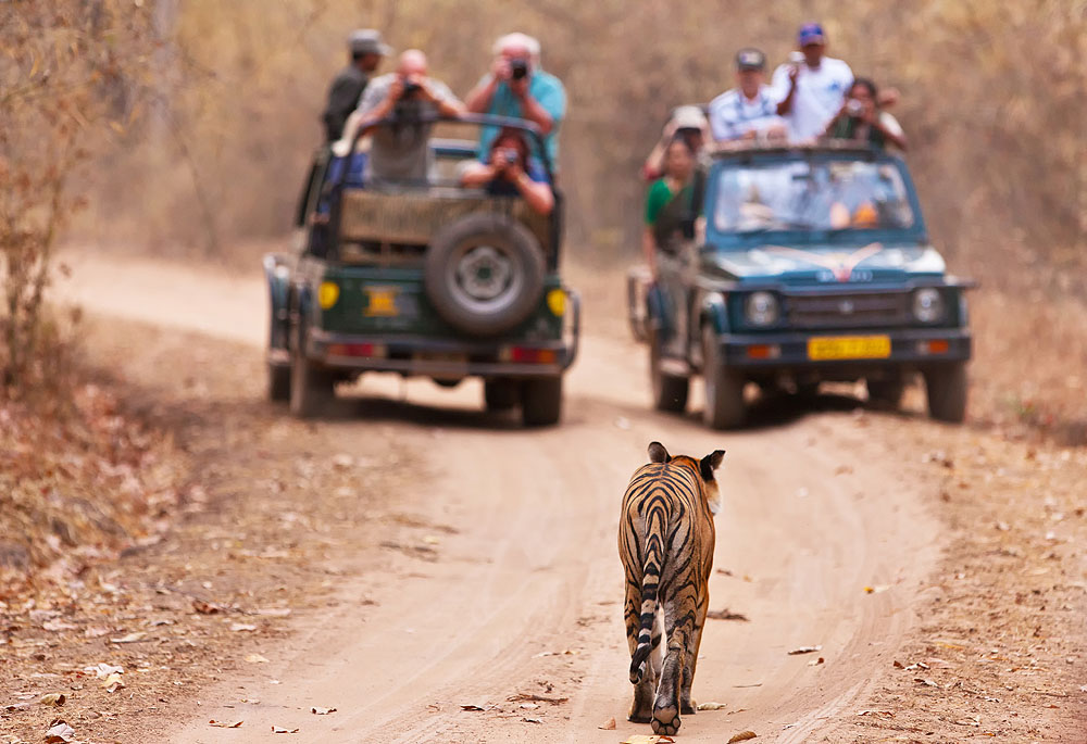Bengal Tiger Walking Towards Two Tourist Jeeps in Bandhavgarh National Park, India