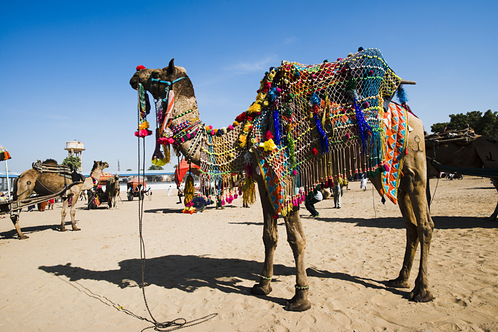 Decorated Camel in Pushkar Camel Fair, Pushkar, Ajmer, Rajasthan, India