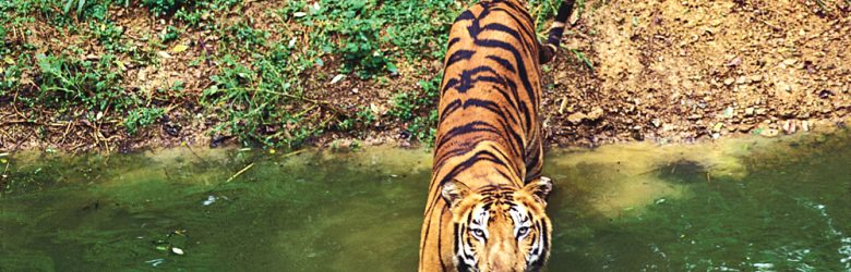 Tiger in Stream, India