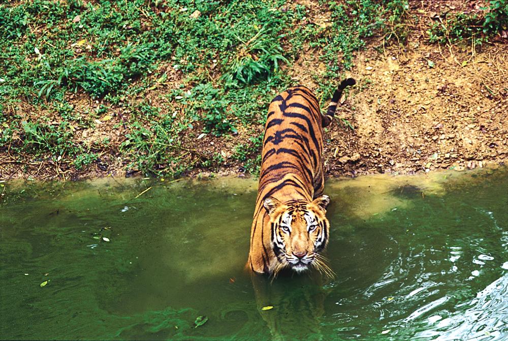 Tiger in Stream, India