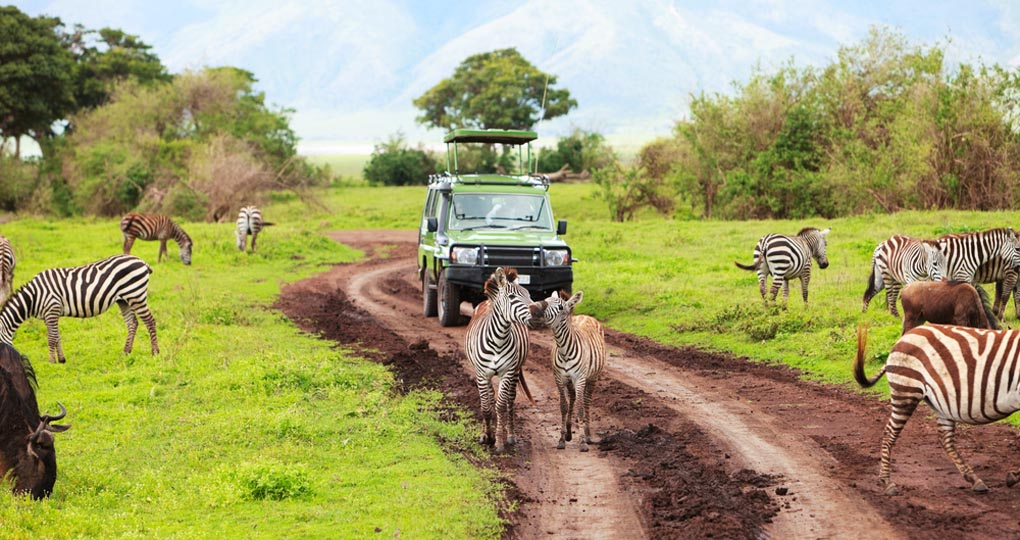 A safari vehicle on a game drive with animals around it in Ngorongoro crater in Tanzania