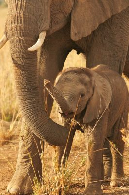 Baby elephant trunk smelling while protected by attentive mother