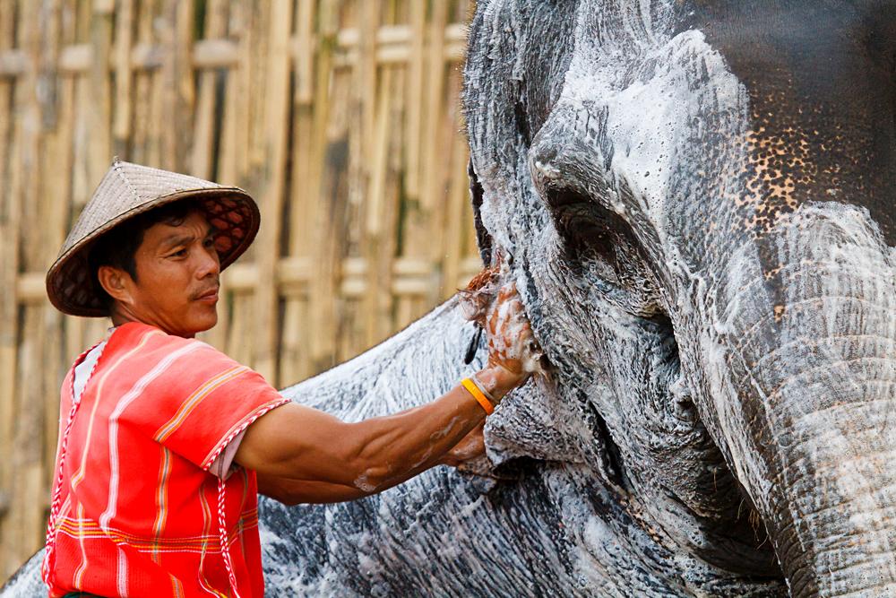Elephant Hills Experience - Man Bathing an Elephant, Khao Sak, Thailand