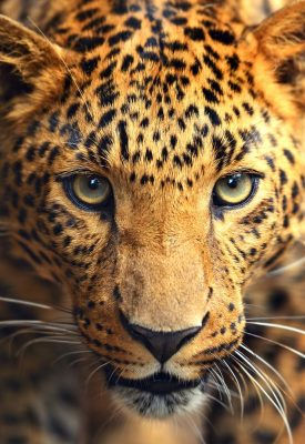 A leopard up close