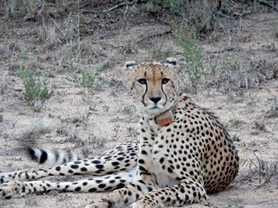 Nicky Cox - Cheetah in Karongwe Private Game Reserve, South Africa