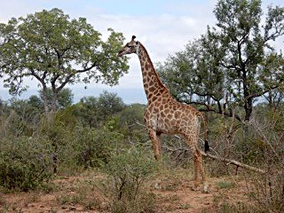 Nicky Cox - Giraffe in Karongwe Private Game Reserve, South Africa