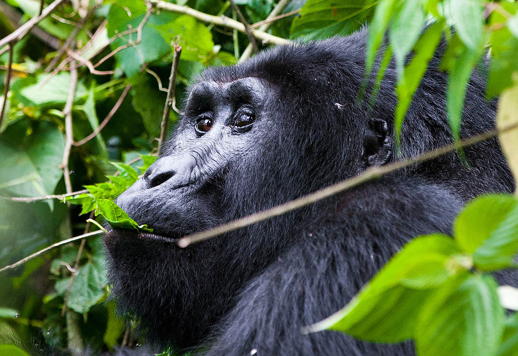 One of the most endangered animals a great silverback Mountain Gorilla