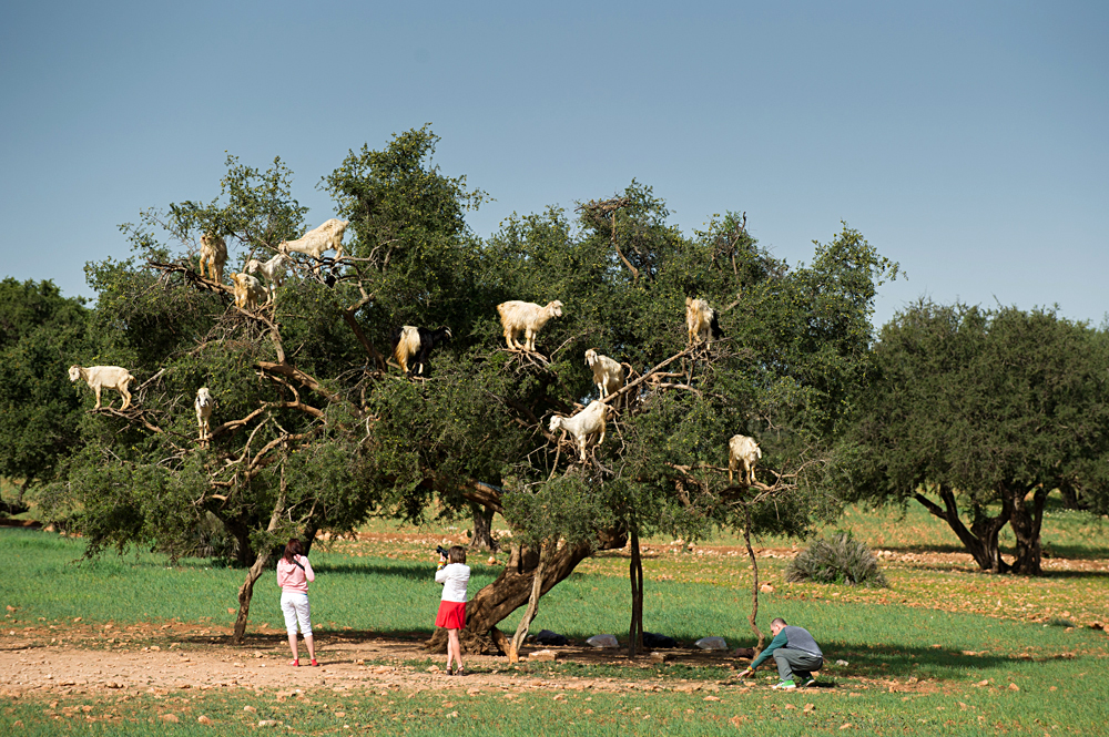 Photographing Goats Eating from an Argan Tree in Essaouira, Morocco