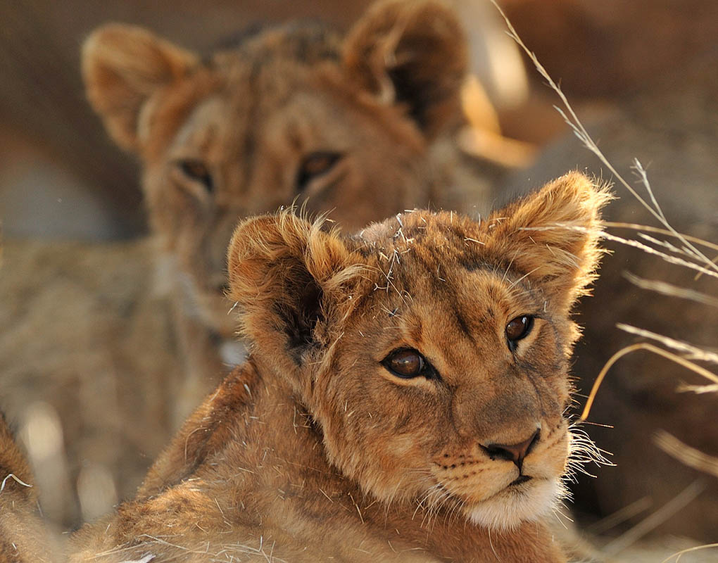Two Lions up close in the bush
