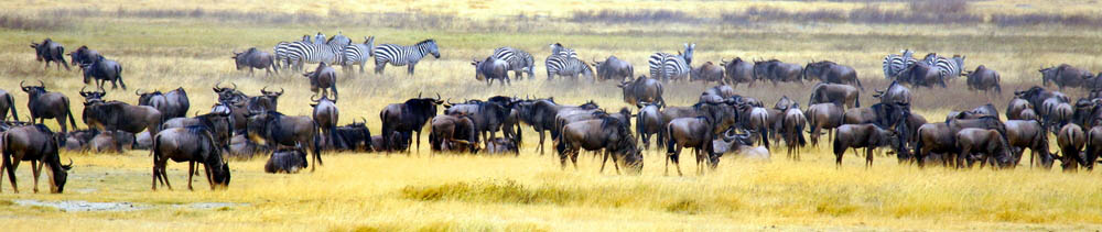 Panorama photograph from the wildebeast and zebra migration in Africa