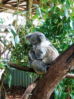 Goway adopted koalas Matilda and Kiah, Australia
