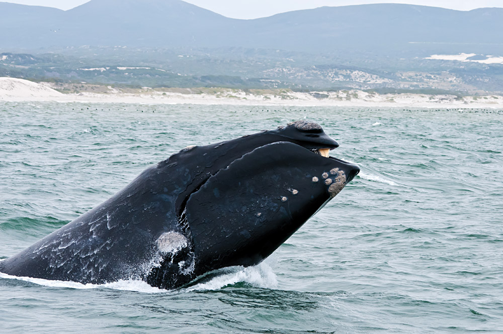 Southern Right Whale Breaching Just off the Coast of Hermanus, South Africa