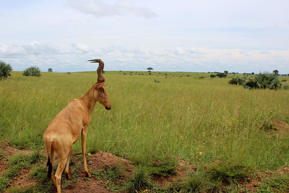 David Zolis - African Kob, Queen Elizabeth Natioal Park, Uganda