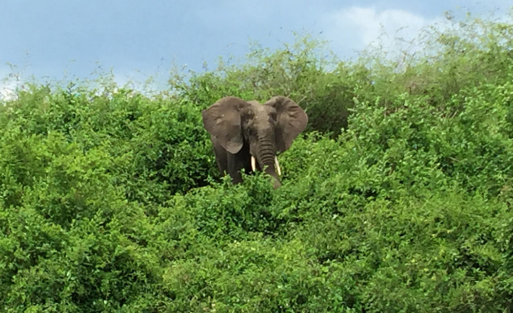 David Zolis - A grazing elephant near Mweya, Queen Elizabeth National Park, Uganda