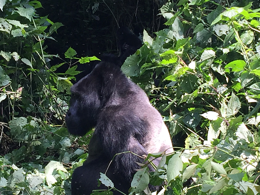David Zolis - Just feet away from a massive Silverback Mountain gorilla, Bwindi Impenetrable Forest, Uganda