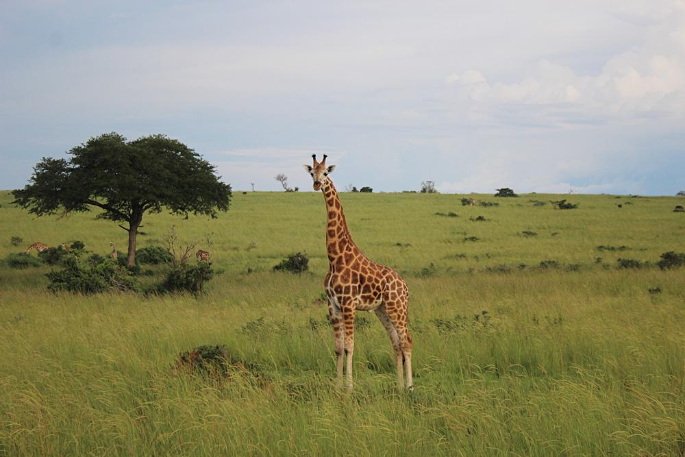 David Zolis - Giraffe, Uganda