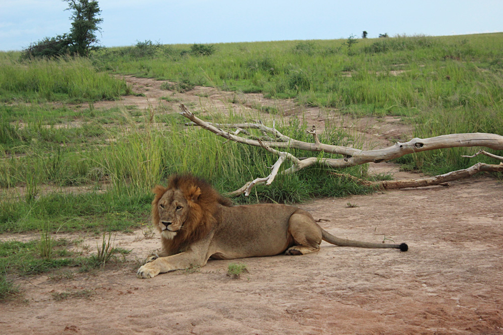 David Zolis - Lion resting, Uganda