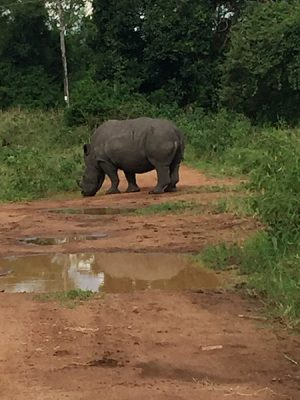 David Zolis - Magnificent white rhino in Ziwa Rhino Sanctuary, Uganda